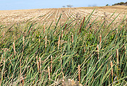 Bullrush plants, Typha, growing in drainage ditch next to stubble field. Hollesley, Suffolk, England, UK
