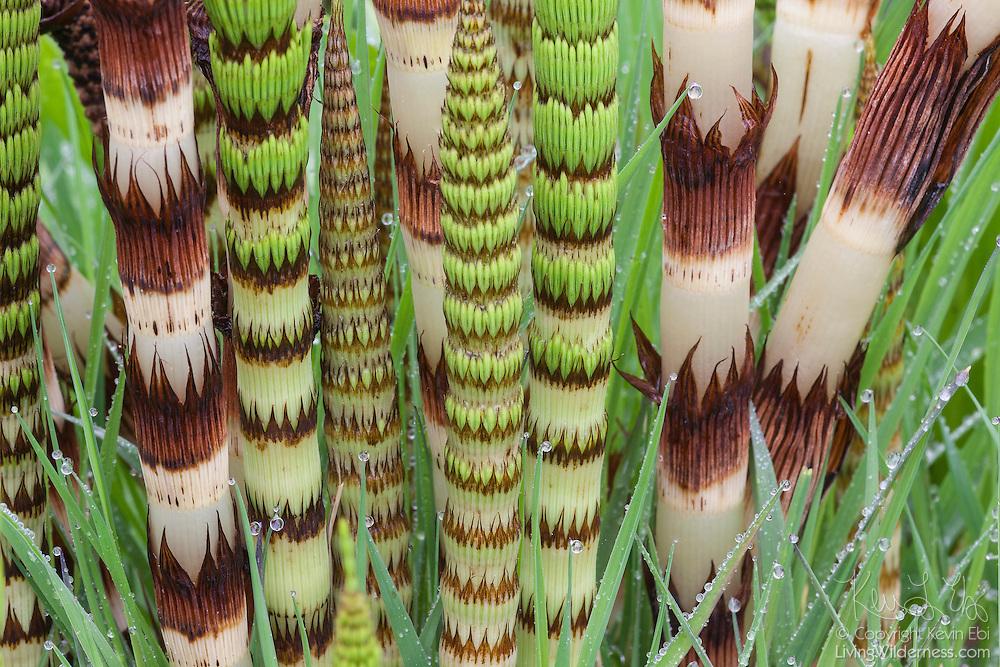 Numerous stalks of Northern Giant Horsetail (Equisetum telmateia braunii) are clustered together in the Grays Harbor National Wildlife Refuge near Hoquiam, Washington.