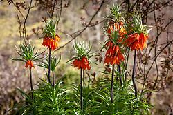 Fritillaria imperialis - Crown Imperials