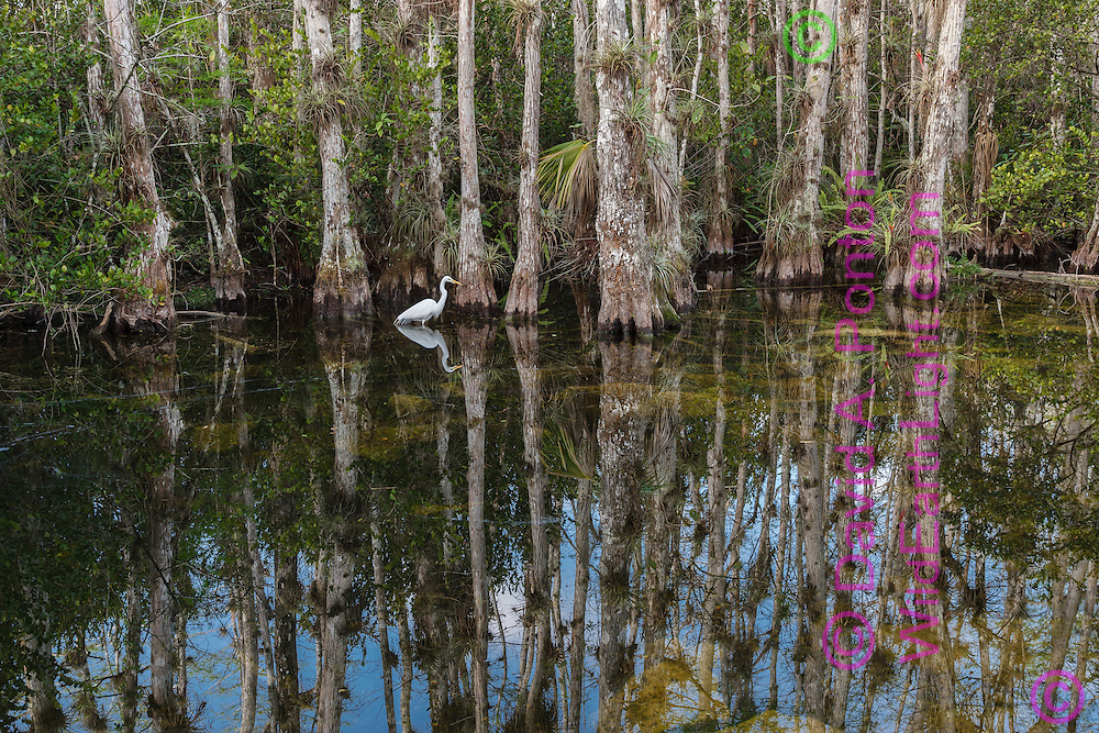 Cypress tree grove at the edge of a pool with great egret, Big Cypress National Preserve, © 2007 David A. Ponton