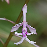 Epidendrum amplum, an orchid near the Interoceanic highway in Peru