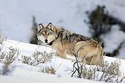 Gray Wolf Gray wolf (Canis lupus) wearing Radio Telemetry Collar