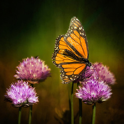 A Monarch Rests On Purple Flowering Chives in Evening Light