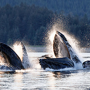 Humpback whales (Megaptera novaeangliae) engaged in bubble net feeding, two with their mouths wide open. The low light of a summer evening in Alaska provides dramatic backlighting for this scene.