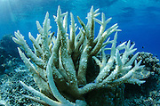 Staghorn Coral (Acropora cervicornis)<br /> Coral Reef<br /> Koro Island<br /> Fiji. South Pacific<br /> Coral diversity