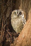 Juvenile European Scops Owl (Otus scops), Also Eurasian Scops Owl Israel, Spring
