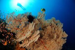 Annella mollis, Subergorgia hicksoni, Taucher an buntem Korallenriff mit Riesen Gorgonien, scuba diver on colorful coral reef with giant fan gorgonian, Bali, Indonesien, Indopazifik, Indonesia Asien, Indo-Pacific Ocean, Asia