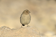 Sinai Rosefinch - Carpodacus synoicus - female