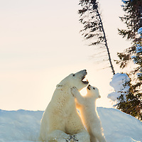 Polar bear cub interacting with its mother outside their day-den in Wapusk N.P., Manitoba, Canada.