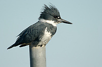 Belted Kingfisher (Ceryle alcyon), Point Holmes, Comox, Vancouver Island, Canada   Photo: Peter Llewellyn