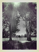 18 March 2014: Daylight through oak trees in vineyard Sonoma County,  California.  iPhone Stock Photo