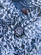 Hoarfrost on lodgepole pine along the Big Wood River, Sawtooth National Recreation Area, Sawtooth National Forest, Idaho.