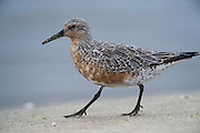 Red Knot (Calidris canutus)<br /> Little St Simon's Island, Barrier Islands, Georgia<br /> USA<br /> HABITAT & RANGE: Feeding on Horseshoe crab eggs then migrate to Artic tundra to breed.