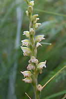 The flowers of the western rattlesnake plantain orchid are quite nondescript for an orchid, but up close they are quite beautiful. Unlike other Goodyera orchid species that all look somewhat similar to each other, Goodyera oblongifolia's flowers all tend to face the same direction on the flowering stalk, which appears about mid to late summer, depending on the longitude, altitude and local climate. Each tiny flower is hermaphroditic, meaning they have both female and male parts and most often pollinated by bumble bees. ThThis one was found and photographed in Waterton Lakes National Park in Southern Alberta, Canada. See how the flowers at the bottom of the stalk are already beginning to brown and fade as the upper ones haven't even opened yet?