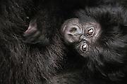 A close-up and sideways portrait of an endangered mountain gorilla infant (Gorilla beringei beringei), Volcanoes National Park, Rwanda