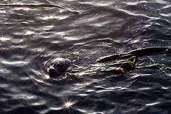 Harbor Seal (Phoca vitulina) Swimming in Kelp, San Juan Island, Washington, US