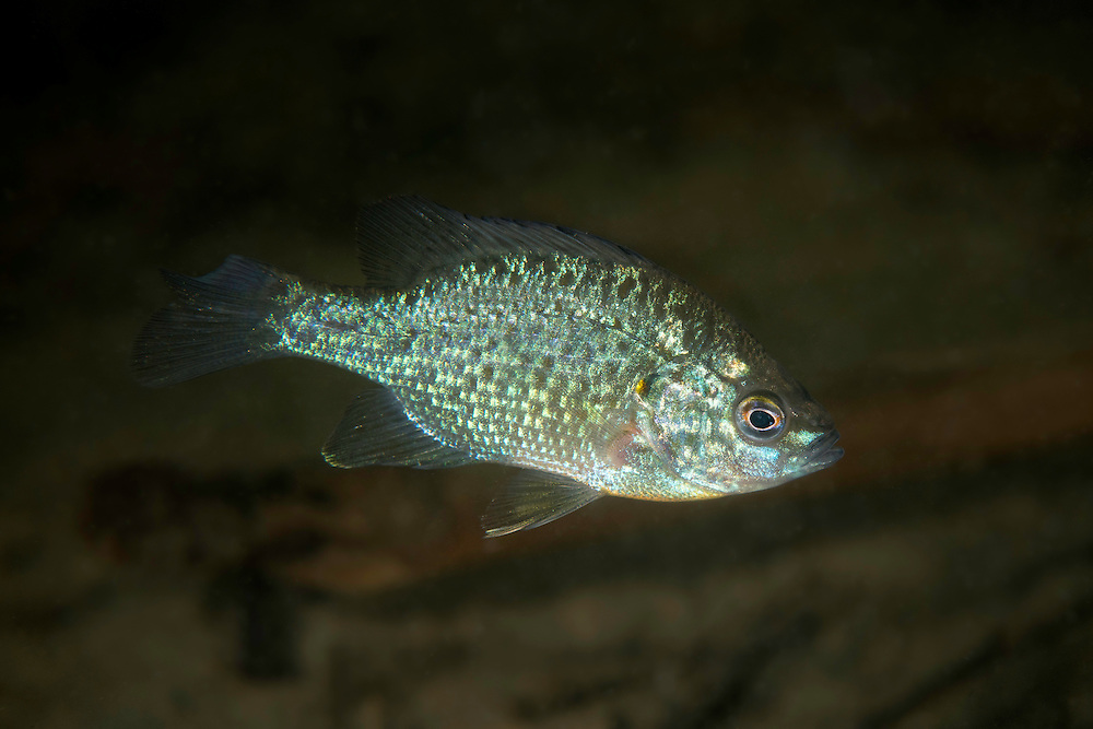 The pumpkinseed sunfish (Lepomis gibbosus) in the reeds of Danube Delta, Romania. In Europe, the pumpkinseed is considered an invasive species. They were introduced to European waters, and could outcompete existing fish.