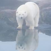 A polar bear (Ursus maritimus) on land. Svalbard, Norway