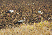 A group of foraging white storks (Ciconia ciconia) on just plowed field in summer, near Rūjiena, Latvia Ⓒ Davis Ulands | davisulands.com