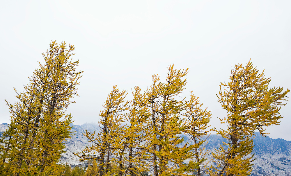 Larch trees in Autumn, Enchantment Lakes Wilderness Area, Washington Cascades, USA.
