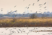 Migratory Lapwings and waders at Thames Estuary.  It is feared that Avian Flu (Bird Flu) could be brought to Britain from Europe by migrating birds.