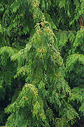 Western cedar foliage, Saltspring Island (Gulf Islands), British Columbia, Canada
