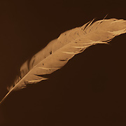 """Lumen print of feather. Available to license and as limited edition archival 20""""x24"""" prints."""
