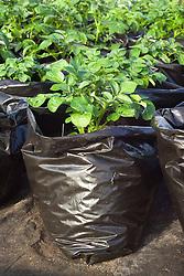 Growing forced potatoes in black plastic bin sacks for an early crop