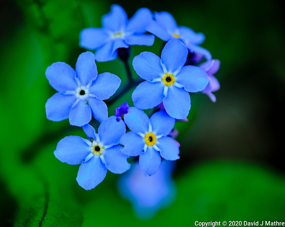 Blue Forget-Me-Not flowers. Image taken with a Fuji X-T3 camera and 80 mm f/2.8 macro lens (ISO 160, 80 mm, f/2.8, 1/60 sec).