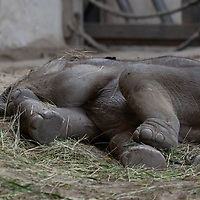 New captive born baby asian elephant (Elephas maximus) Samu is seen at Zoo Budapestin Budapest, Hungary on May 19, 2021. ATTILA VOLGYI