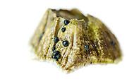 Northern Rock barnacle (Semibalanus balanoides) with embryonic sporophytes of marine algae