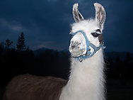A Llama Lama (Llama glama) poses for an animal portrait wearing a blue halter at dusk.  Quinault Llama at Nika Trail, Silverdale, WA, USA.