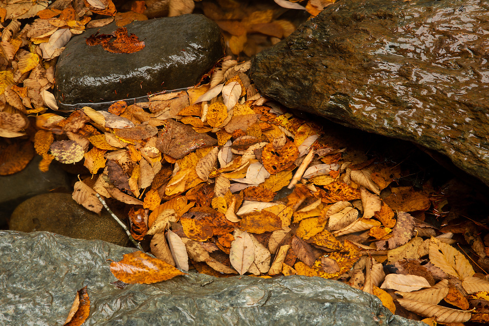 Autumn leaves floating in a mountain stream in the woods of Vermont.