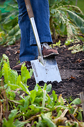 Winter digging in a vegetable garden