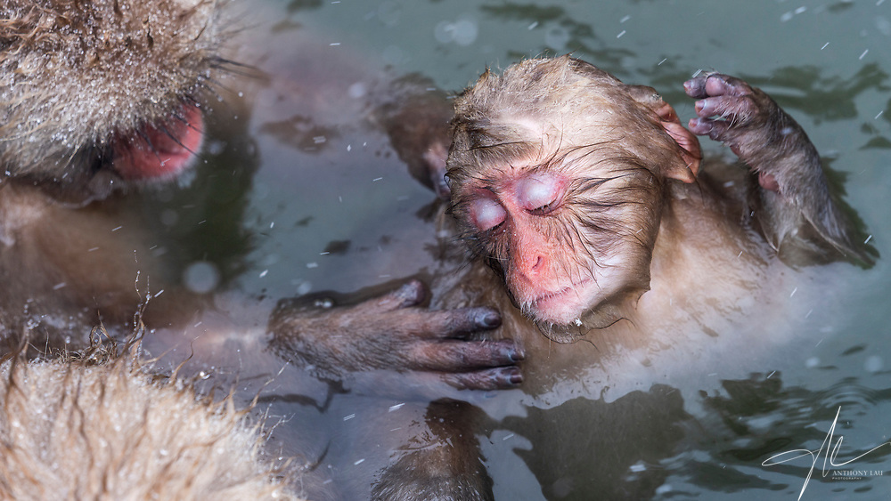 A family cleaning up an infant monkey in the hot spa pool.
