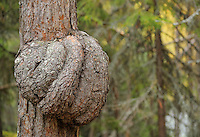 Pine tree,  Pinus sylvestris L. by the Oulanka River, Finland.