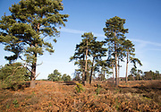 Heathland vegetation bracken, pine trees Upper Hollesley Common, Suffolk, England, UK