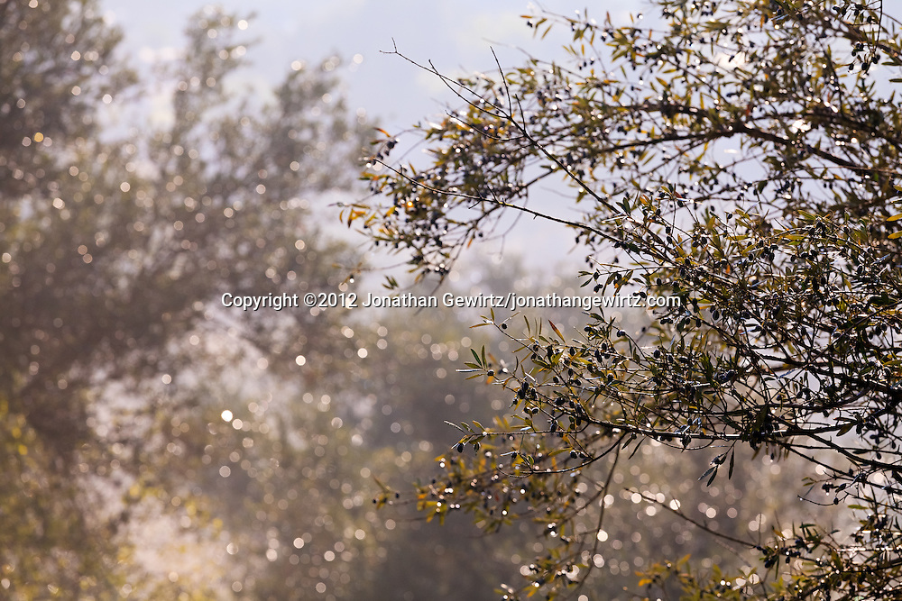 Closeup view of olive tree branches in the Valley of the Cross in Jerusalem. WATERMARKS WILL NOT APPEAR ON PRINTS OR LICENSED IMAGES.
