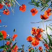 Red poppies, Tuscany, Italy.