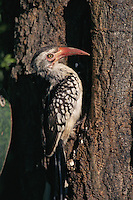 Red-billed Hornbill (Tockus erythrorhynchus) outside its nesting hole.