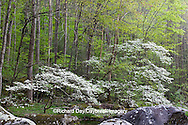 66745-04110 Dogwood trees in spring, Tremont Area, Great Smoky Mountains National Park, TN