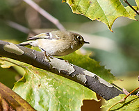 Ruby-crowned Kinglet (Regulus calendula). Image taken with a Nikon D2xs camera and 80-400 mm VR lens.