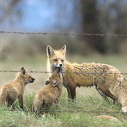 Red Fox, (Vulpus fulva) Female with her kits near barbed wire fence. Spring Montana