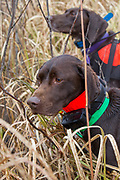 John Zeman's German Shorthair, Willy, on point (front) being backed by Bob St. Pierre's GSP, Esky, while hunting pheasants on a Minnesota public hunting area.