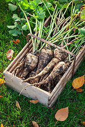 Box of harvested parsnips