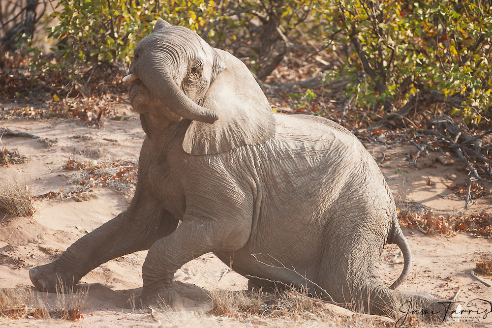 A desert-adapted elephant calf (Loxodonta africana) taking a rest after a rigorous play session, Skeleton Coast, Namibia, Africa