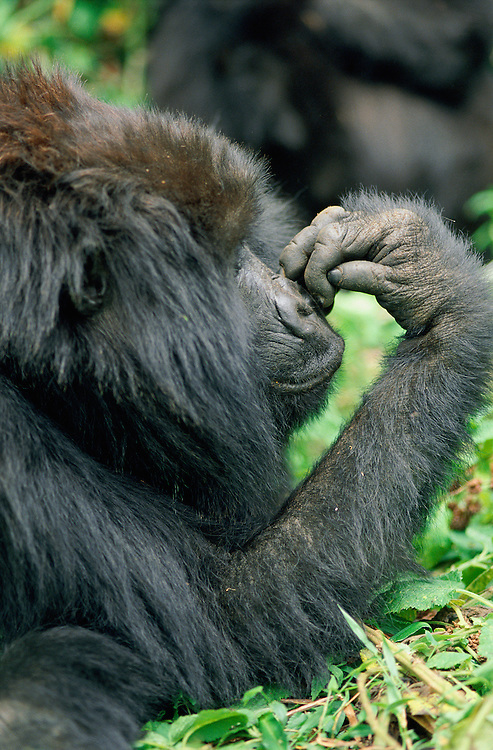 Mountain Gorilla, Gorilla beringei beringei, Virunga National Park, Democratic Republic of the Congo, fka Zaire