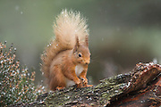 Red squirrel, Sciurus vulgaris, winter coat, on pinewood branch, Strathspey, Highland.