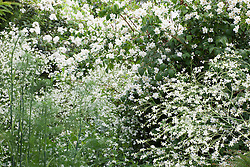 White and green combination of Foeniculum vulgare (fennel), with Crambe cordifolia and philadelphus