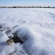 Brown Lemming (Lemmus trimucrontatus) on ice. Nunavut Territory, Canada